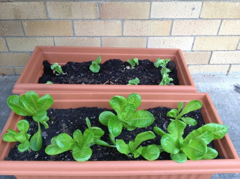 Rowena's lettuces